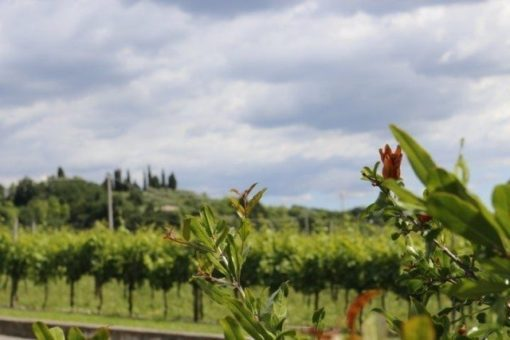 Bardolino vineyards