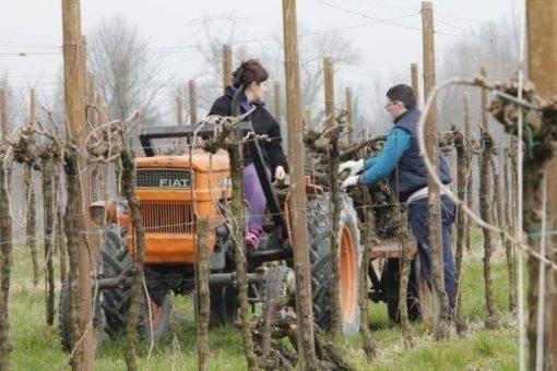 Piave river vineyard