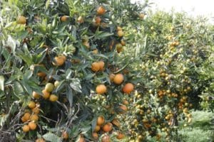 Orange fruit field Calabria food tasting, south italy along the Thirrenyan coast to discover during a day excursion with professional driver