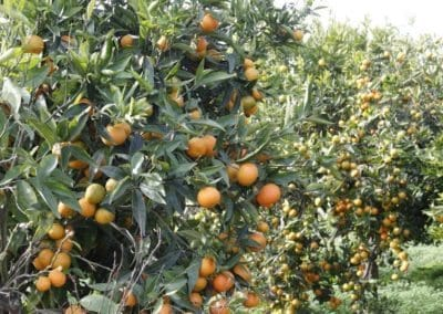Orange fruit field Calabria food tasting